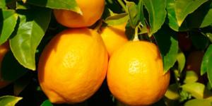 Вырастить лимон дома можно, если знать технологию