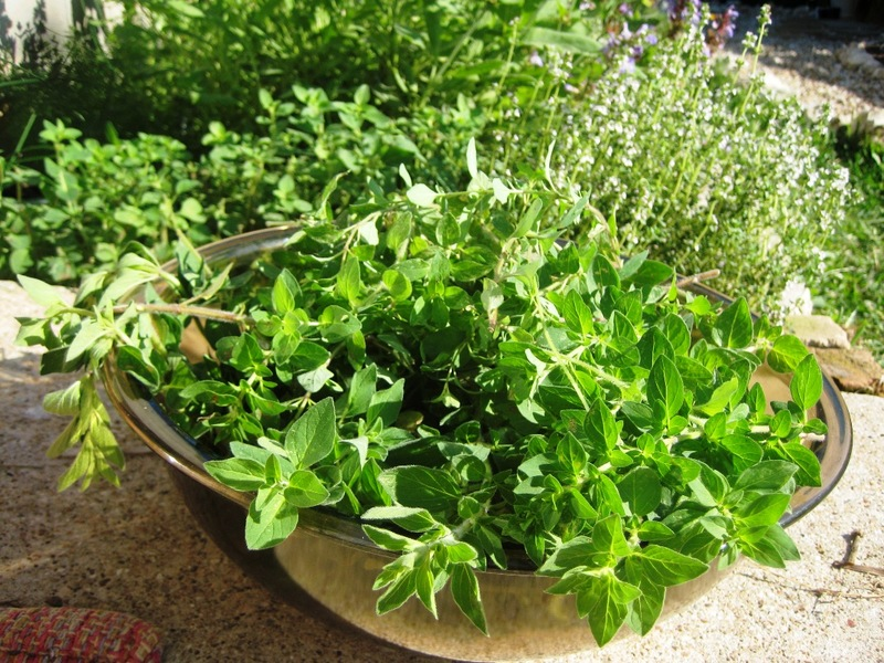 Майоран выращивание из семян в домашних условиях