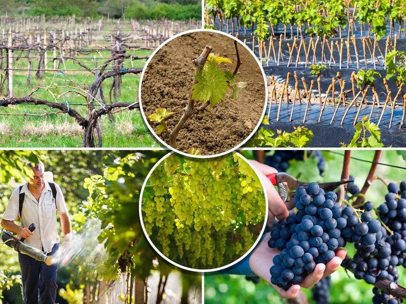 Поэтапный уход за виноградом
