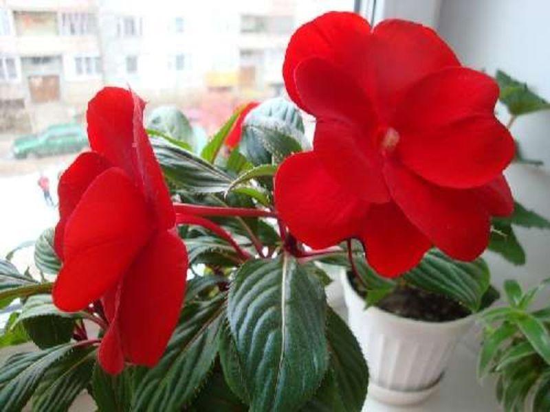 Цветок бальзамин: как размножать это растение в домашних условиях, уход за ним, болезни комнатного бальзамина