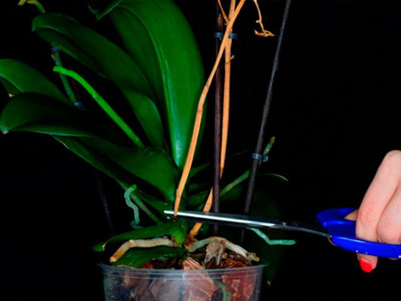 Уход за орхидеями которая отцвела