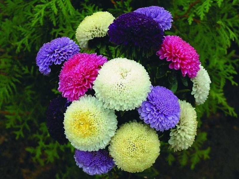 Выращивание цветов астры 61