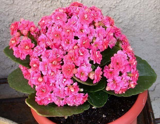 Цветок каланхоэ микс уход в домашних условиях уход
