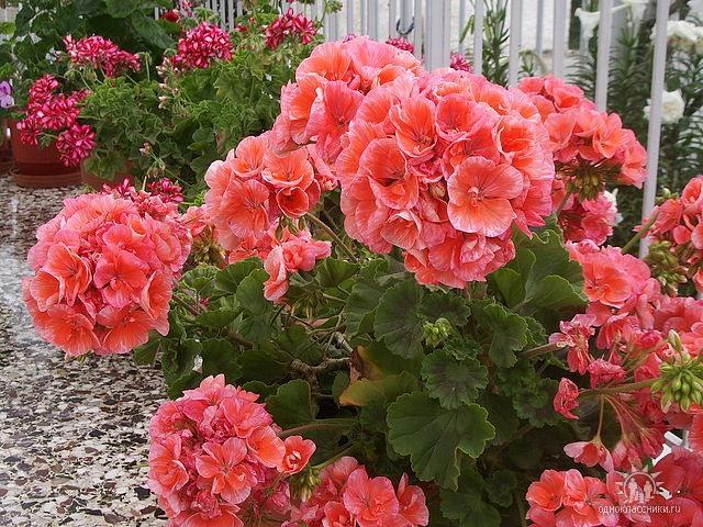 Цветок пеларгония фото посадка и уход в