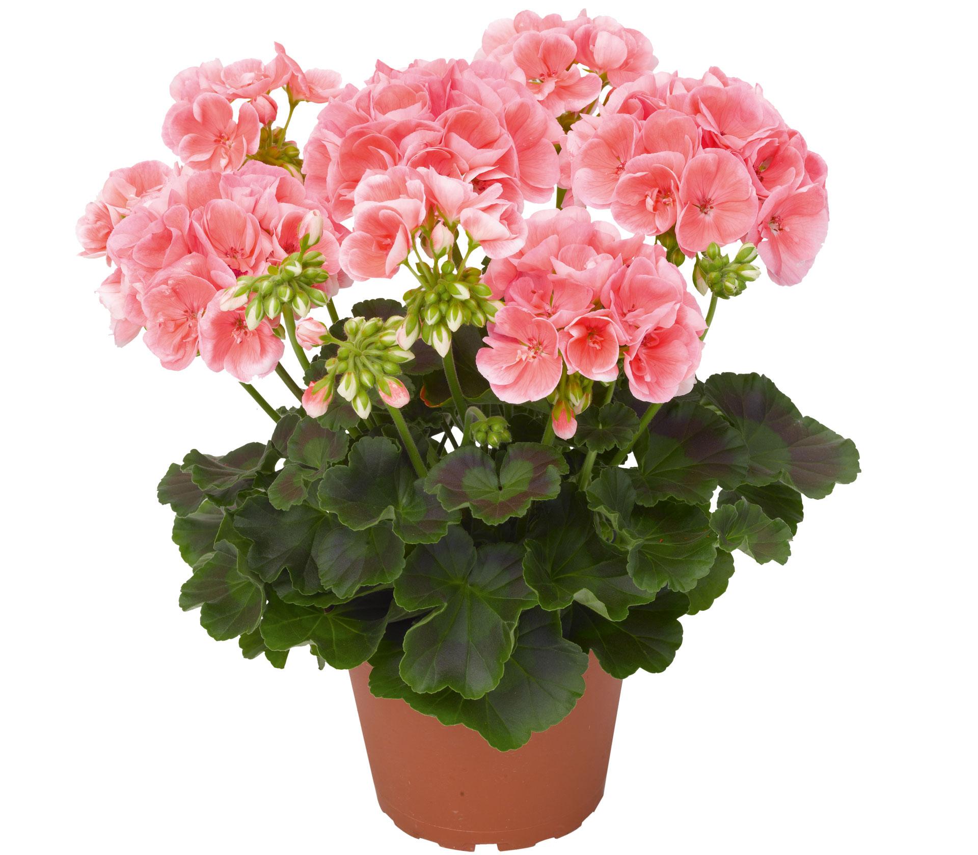 Комнатный цветок герань уход в домашних условиях