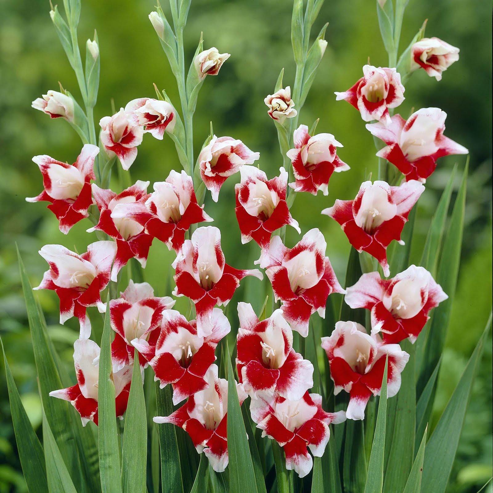 Болезни цветков гладиолуса фото
