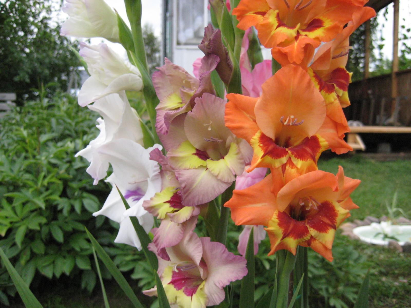 Как получить семена гладиолуса и можно ли вырастить цветы из семян 66