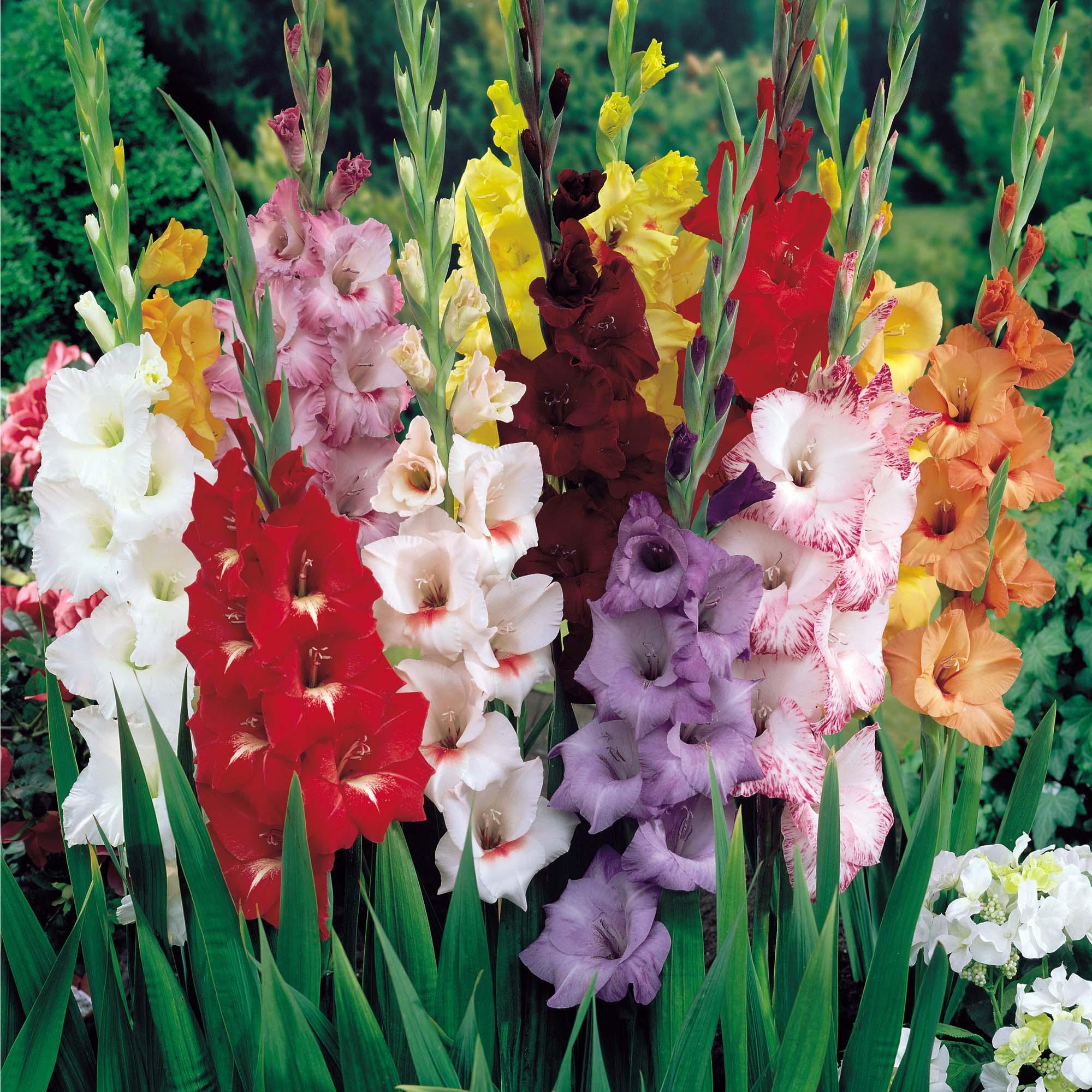Как получить семена гладиолуса и можно ли вырастить цветы из семян 402