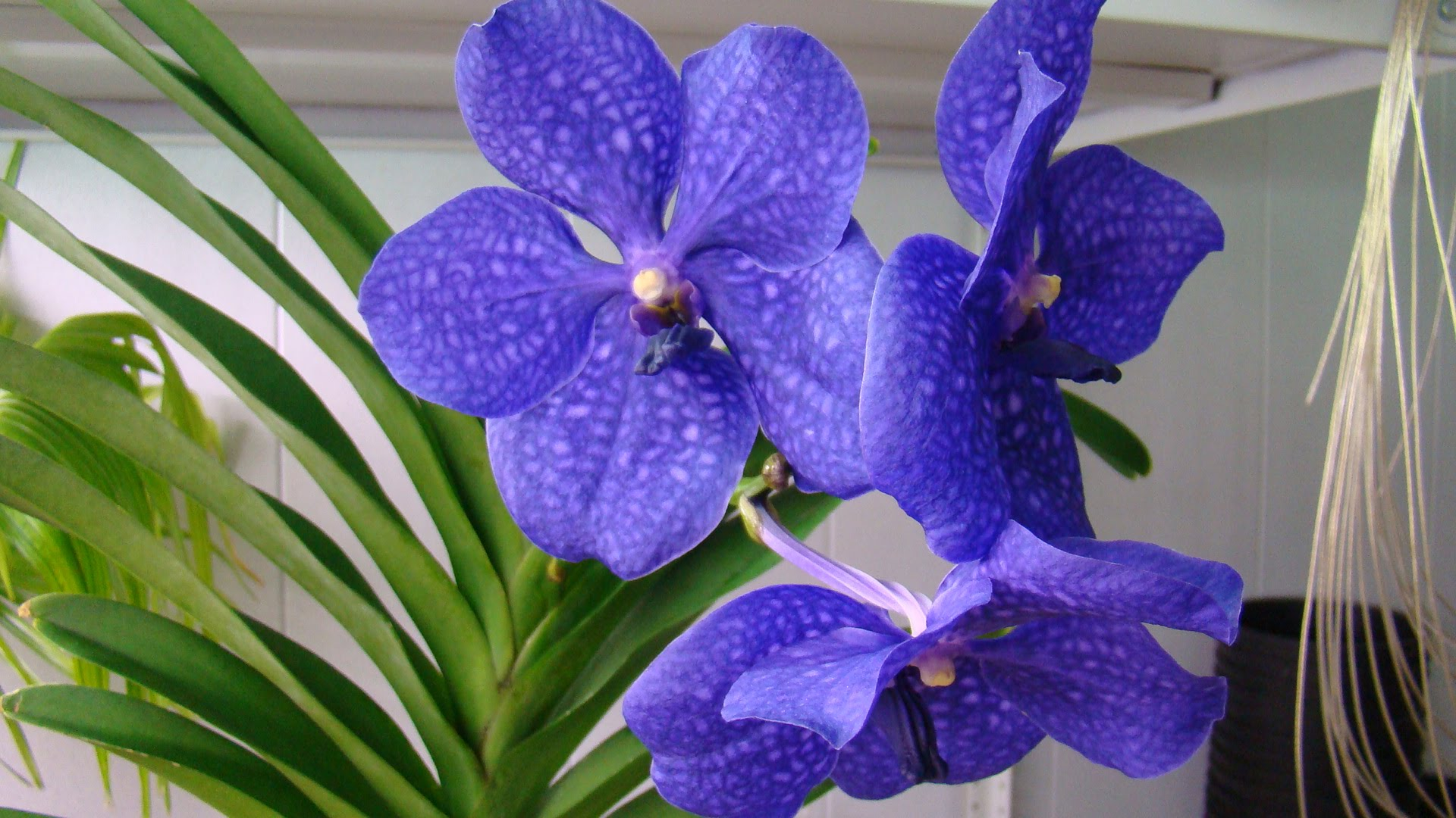 Орхидея ванда уход в домашних условиях фото пересадка