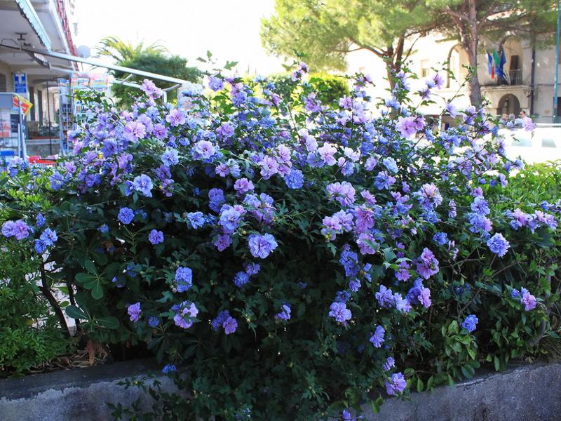 Гибискус садовый древовидный выращивание и уход 70