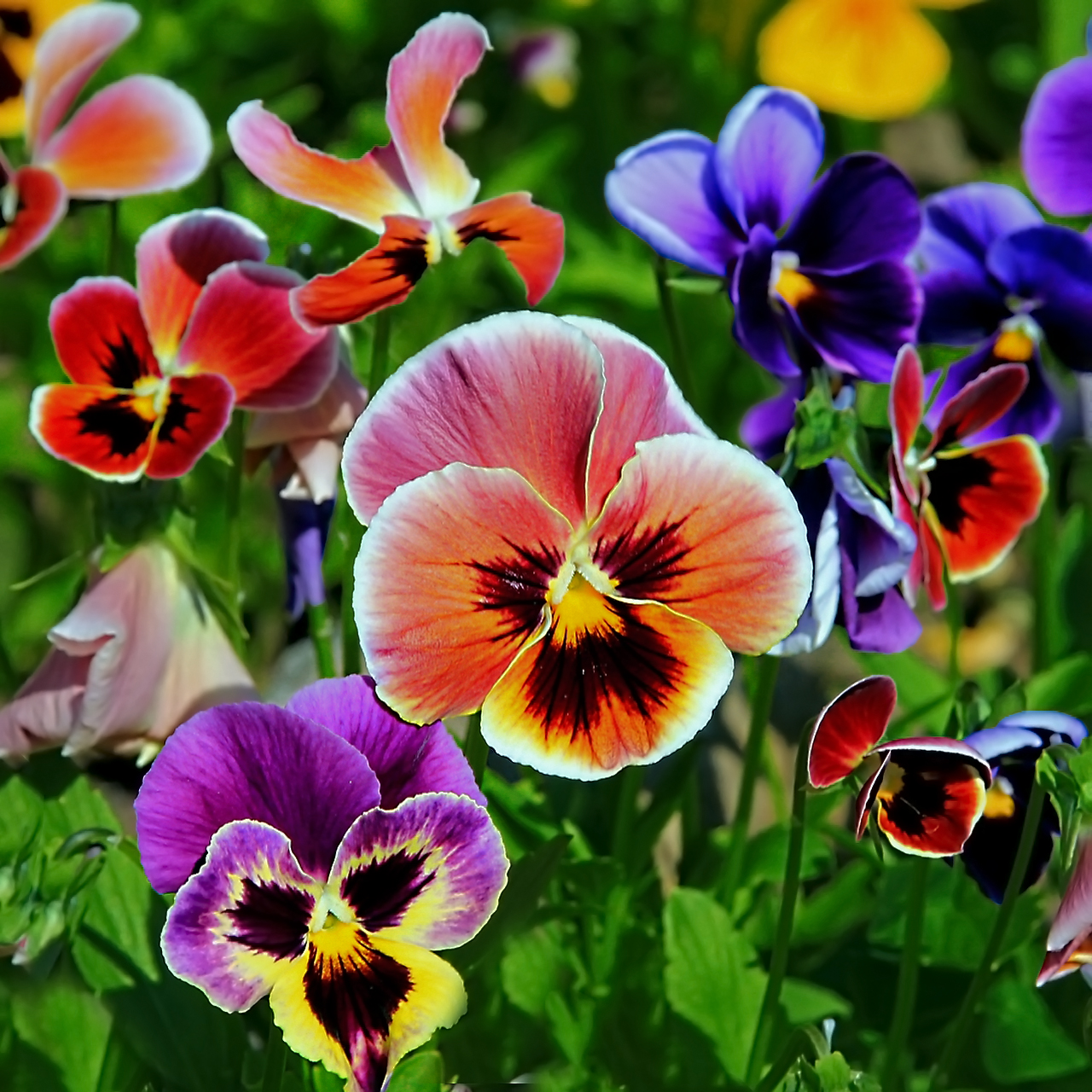 Совет 1: Как вырастить анютины глазки из семян 67