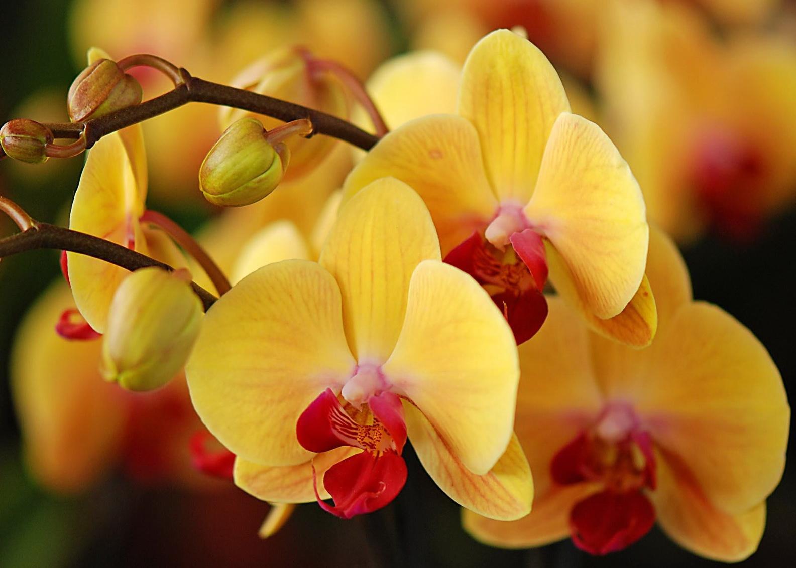 Что делать, чтобы зацвела орхидея Цветы орхидеи 68