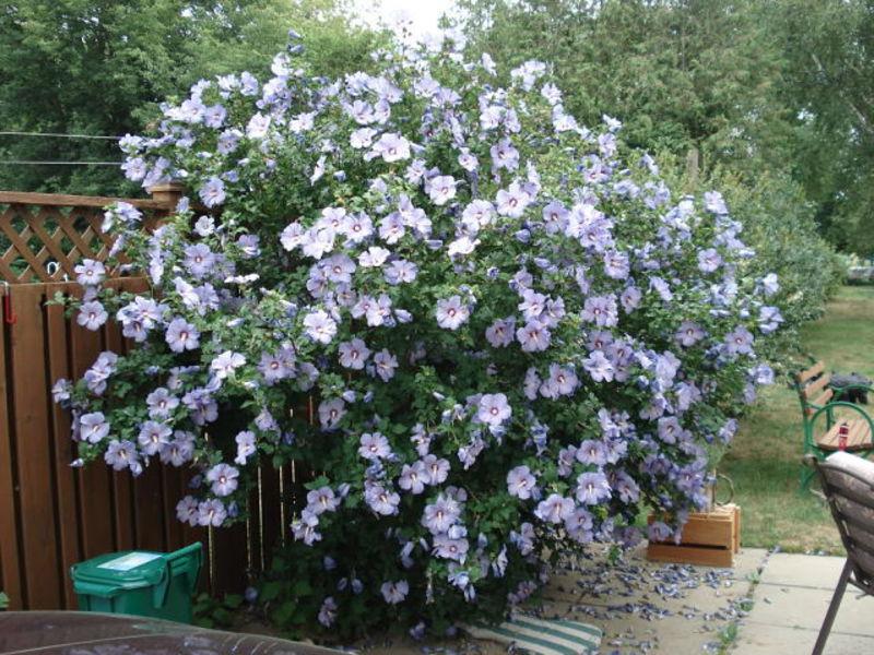 Гибискус садовый древовидный выращивание и уход 27