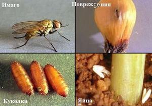 Луковая муха крупно