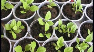 Выращивание астр из семян