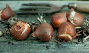 Как укрывать тюльпаны на зиму — Огород и прочее