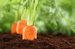 Посадка морковки под зиму