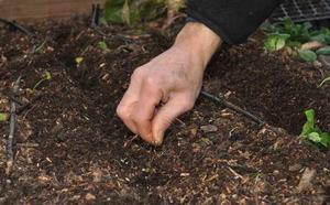 Как посадить морковку