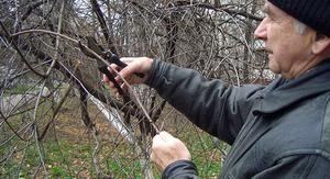 Как правильно обрезать деревья осенью
