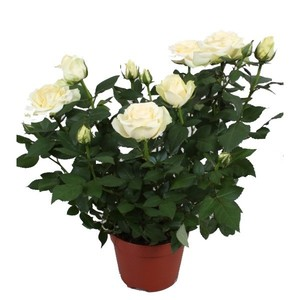 Мини роза