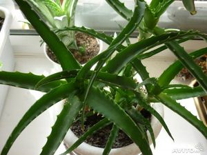 Особенности выращивания алоэ в домашних условиях