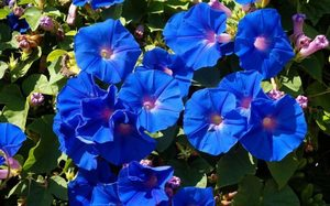 Утренний цветок ипомея