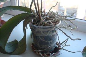 Когда нужно пересаживать орхидею фото