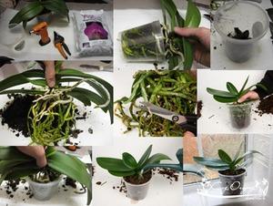 Время и сроки пересадки орхидеи