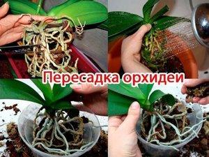 Процесс пересадки орхидеи фото