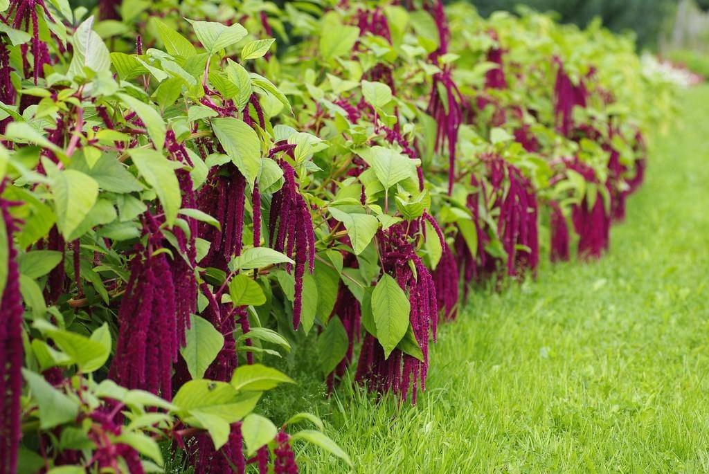 сегодня бордовые растения фото с названиями в саду использование материалов