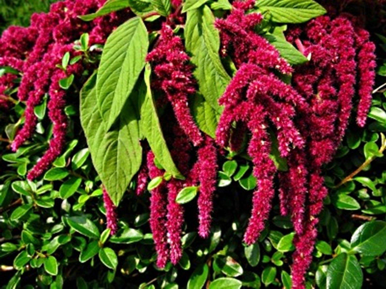 Амарант растение: правила посадки и ухода