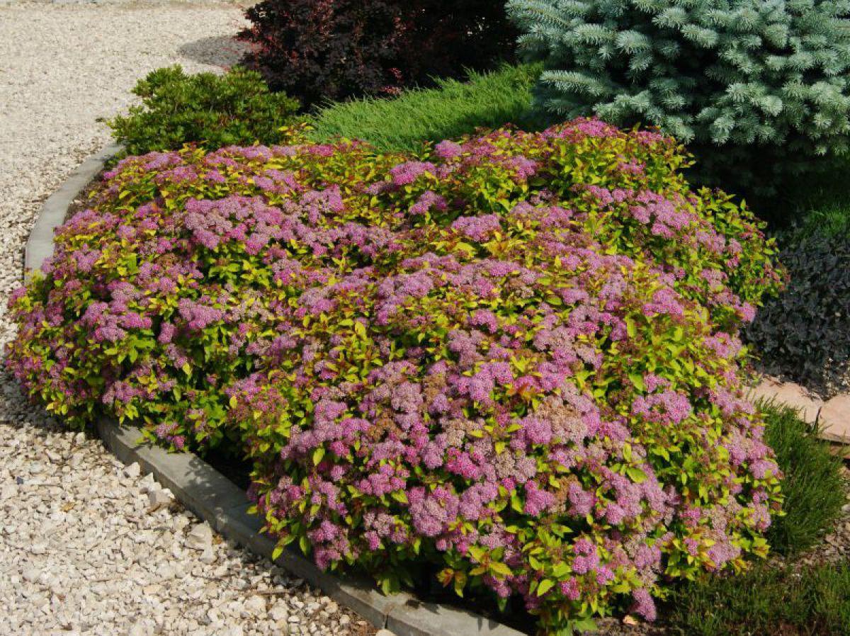 Спирея - секреты выращивания цветка на садовом участке рекомендации
