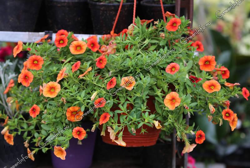 садовые ампельные цветы названия и фото рестораны центре