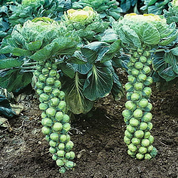 как растёт брюссельская капуста