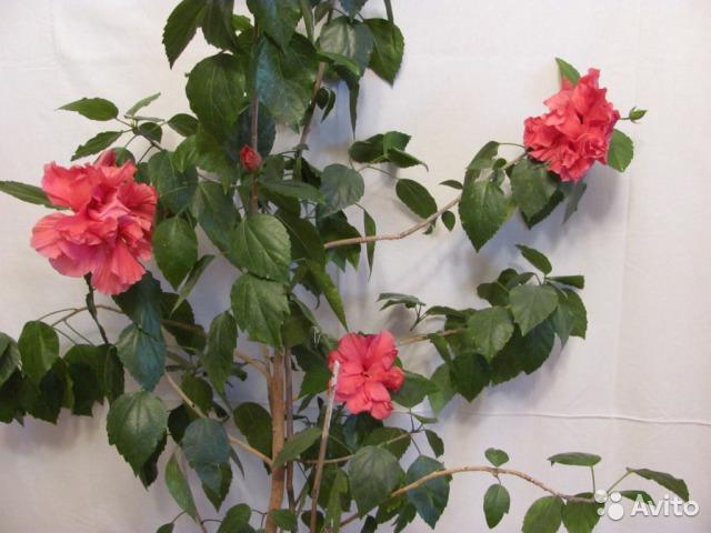Фото цветков китайской розы