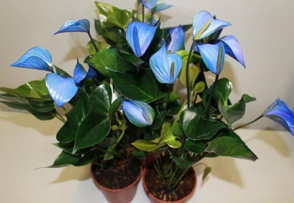Домашний цветок любви фото уход